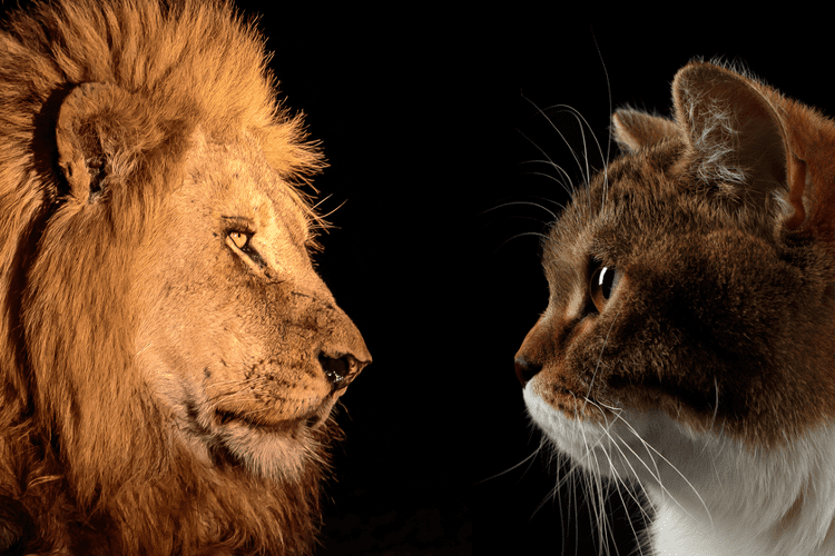 Lion and cat